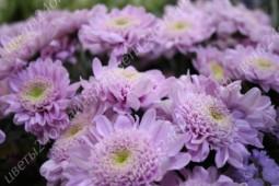 Хризантема кустовая букетная